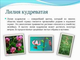 Лилия кудреватая Лилия кудреватая — изящнейший цветок, который во многих обла