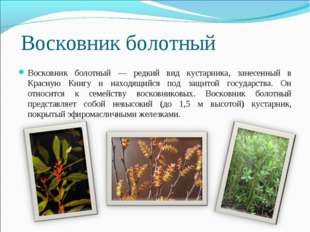 Восковник болотный Восковник болотный — редкий вид кустарника, занесенный в К