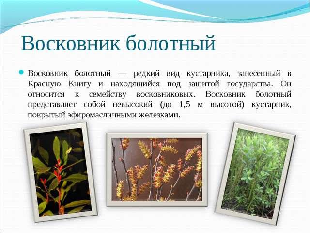 Восковник болотный Восковник болотный — редкий вид кустарника, занесенный в К...