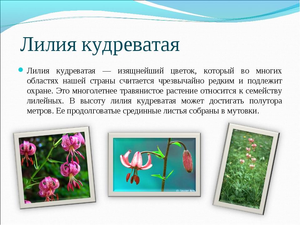 Лилия кудреватая Лилия кудреватая — изящнейший цветок, который во многих обла...