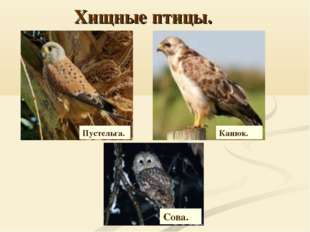 Хищные птицы. Пустельга. Канюк. Сова.
