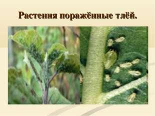 Растения поражённые тлёй.