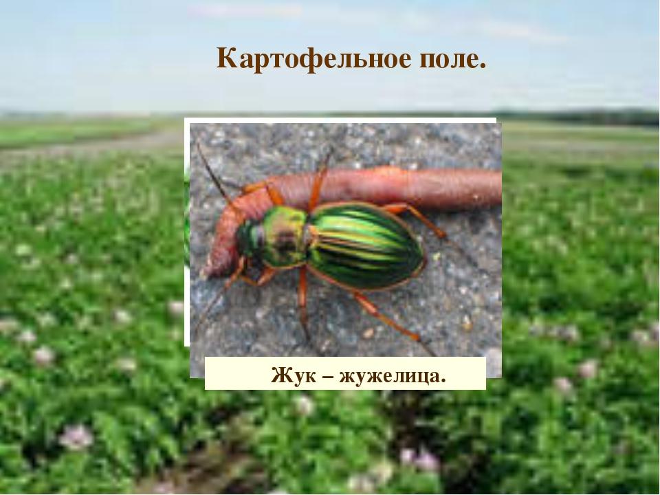 Картофельное поле. Колорадский жук Личинка колорадского жука. Жук – жужелица.