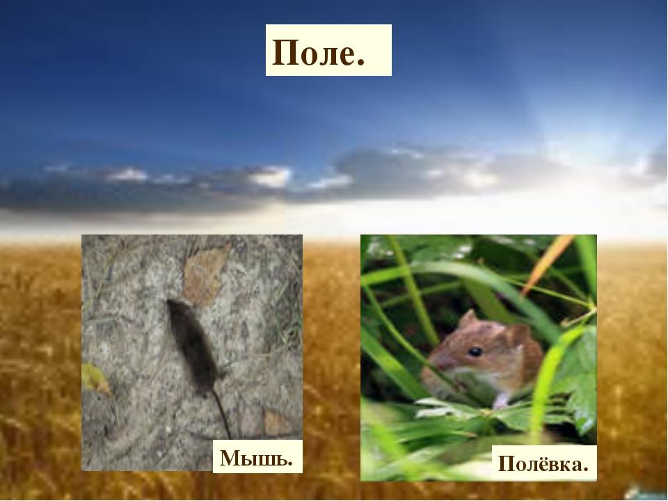 Поле. Мышь. Полёвка.