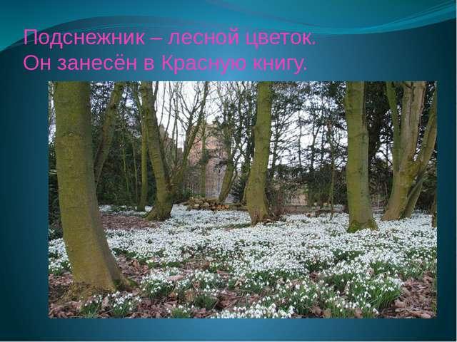 Подснежник – лесной цветок. Он занесён в Красную книгу.