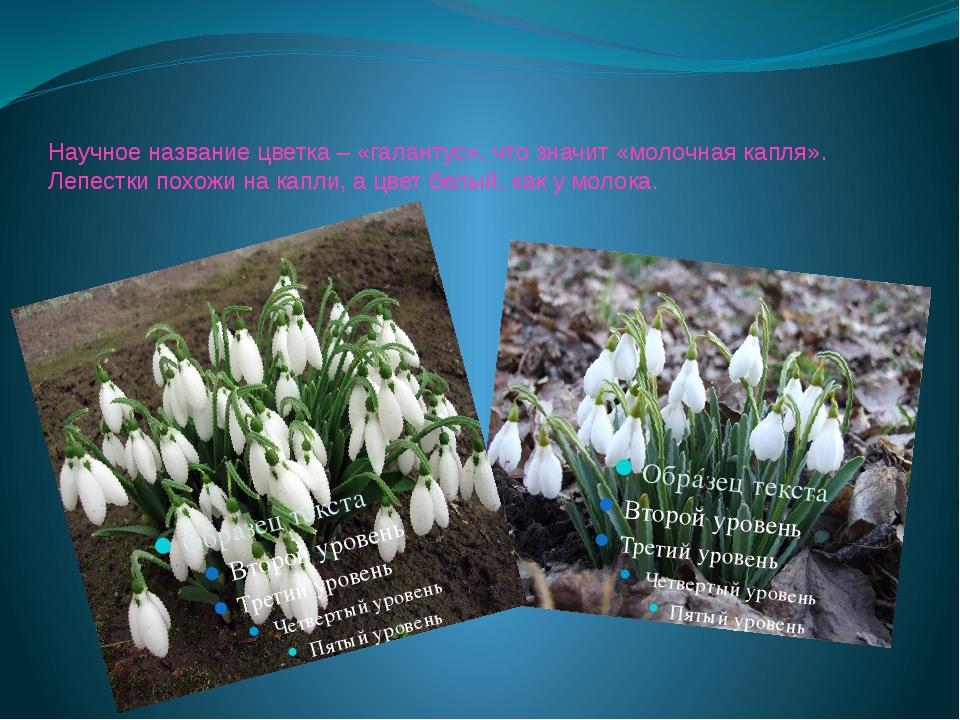 Научное название цветка – «галантус», что значит «молочная капля». Лепестки п...