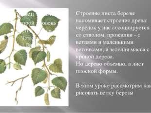 Строение листа березы напоминает строение древа: черенок у нас ассоциируется