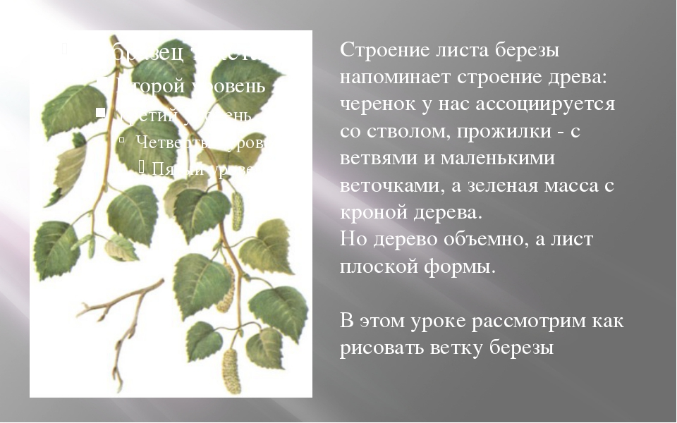 Строение листа березы напоминает строение древа: черенок у нас ассоциируется...