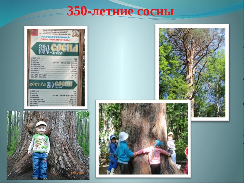350-летние сосны