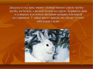 Два раза в год заяц линяет: осенью меняет серую шубку шубку на белую, а весно