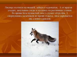 Лисица охотится на мышей, зайцев и куропаток. А от врагов уходит, запутывая с