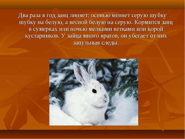 Два раза в год заяц линяет: осенью меняет серую шубку шубку на белую, а весно...