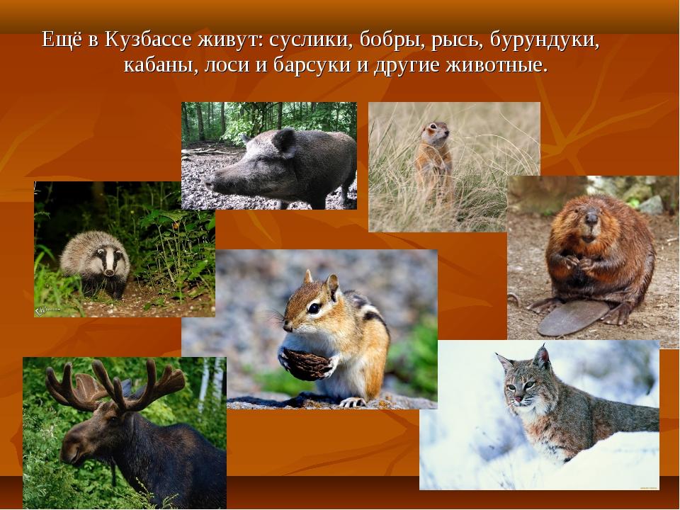 Ещё в Кузбассе живут: суслики, бобры, рысь, бурундуки, кабаны, лоси и барсуки...