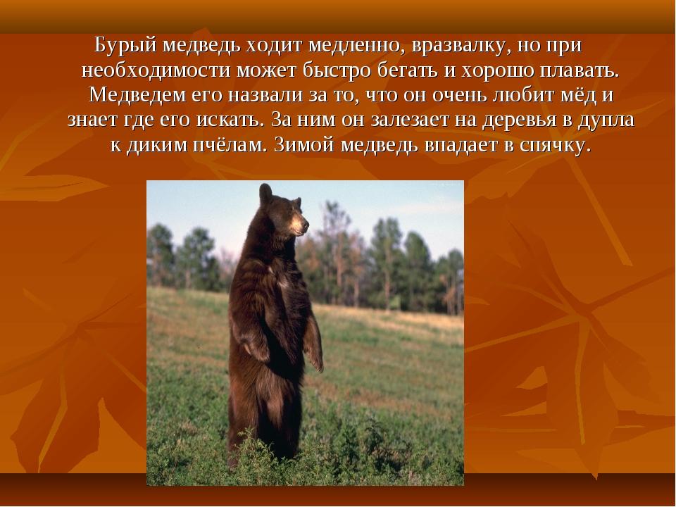 Бурый медведь ходит медленно, вразвалку, но при необходимости может быстро бе...