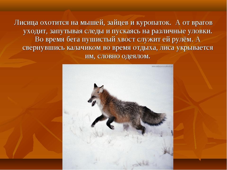 Лисица охотится на мышей, зайцев и куропаток. А от врагов уходит, запутывая с...