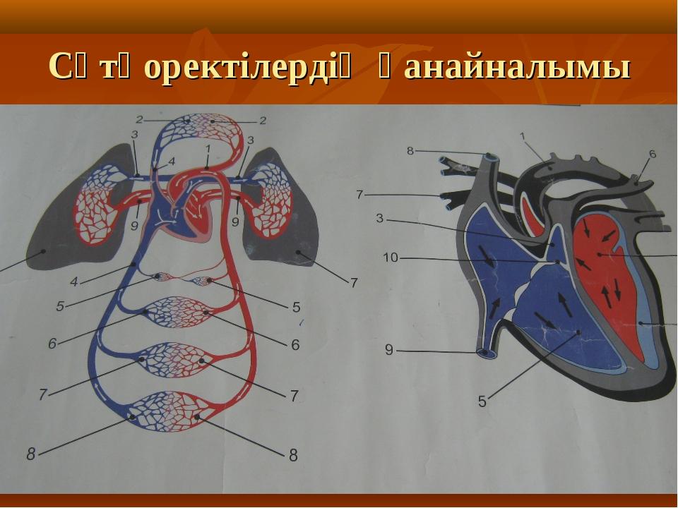 Сүтқоректілердің қанайналымы