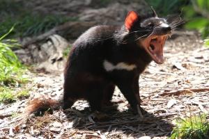 300px-Tasmanian_Devil_1.jpg
