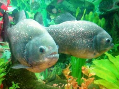 Рейтинг пресноводных аквариумных рыб
