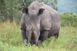 носорог-в-парке-крюгера-300x200.jpg