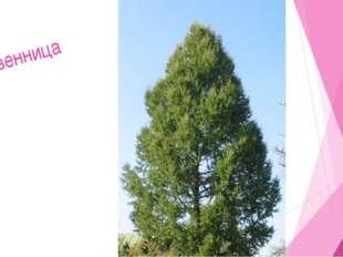 Мир растений 3. Дерево с мягкой хвоей. Елка Сосна Пихта Липа 5. 2. 3. 10. Р 4