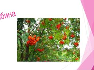Мир растений 6. Зимой и летом – одним цветом. Береза Сосна Ель Елка 5. Б 2. 3