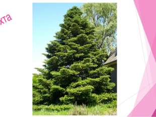 Мир растений 9. Лиственное дерево-медонос. Цветет позднее всех. Липа Лиса Зим