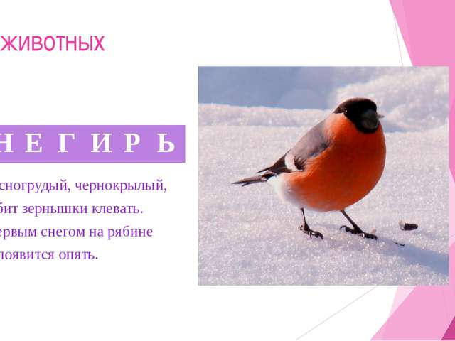 Мир животных 6. Красногрудый, чернокрылый, Любит зернышки клевать. С первым с...