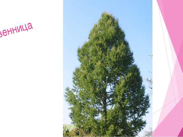 Мир растений 3. Дерево с мягкой хвоей. Елка Сосна Пихта Липа 5. 2. 3. 10. Р 4...