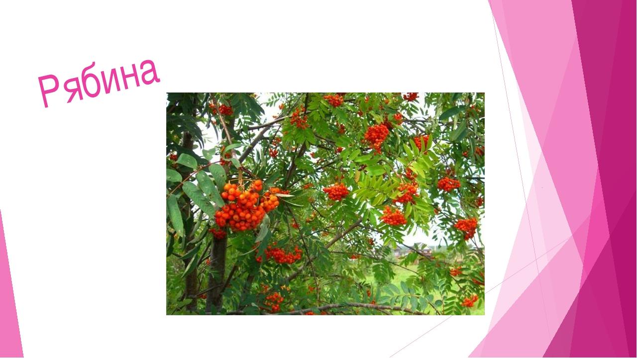 Мир растений 6. Зимой и летом – одним цветом. Береза Сосна Ель Елка 5. Б 2. 3...