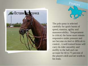 The polo pony is selected carefully for quick bursts of speed, stamina, agili
