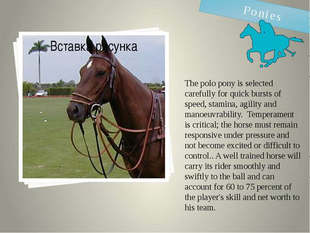 The polo pony is selected carefully for quick bursts of speed, stamina, agili...