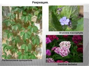 Рекреация. Parthenocissus quinquefolia Brunnera macrophylla Dianthus barbatus