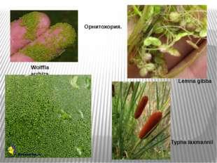 Орнитохория. Wolffia arrhiza Lemna gibba Typha laxmannii