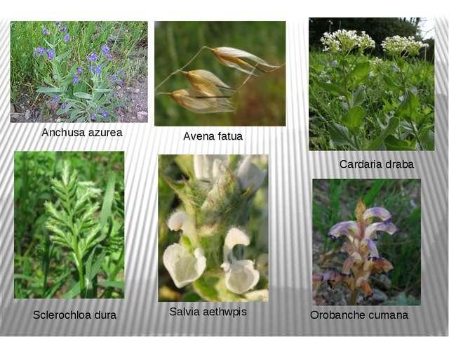 Anchusa azurea Cardaria draba Avena fatua Sclerochloa dura Salvia aethwpis Or...