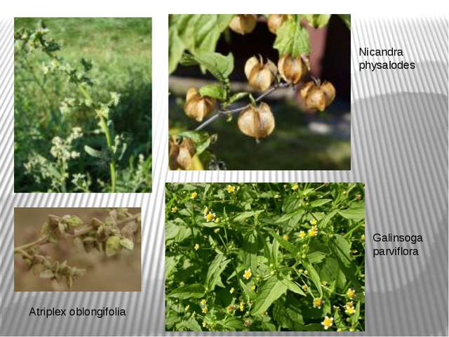 Galinsoga parviflora Nicandra physalodes Atriplex oblongifolia