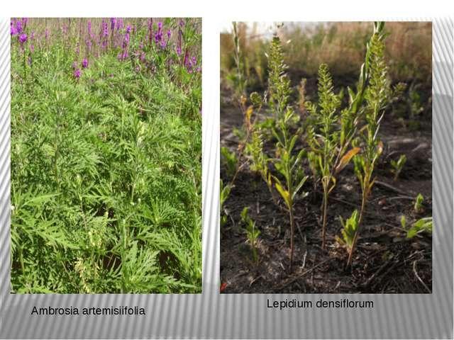 Ambrosia artemisiifolia Lepidium densiflorum
