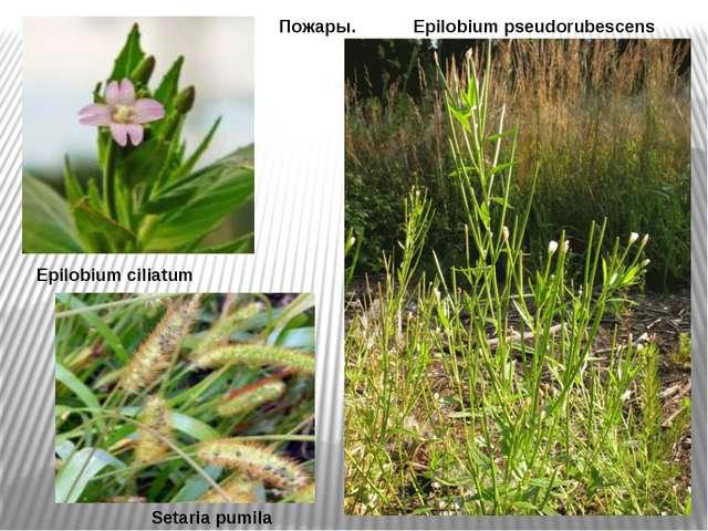 Epilobium ciliatum Пожары. Epilobium pseudorubescens Setaria pumila