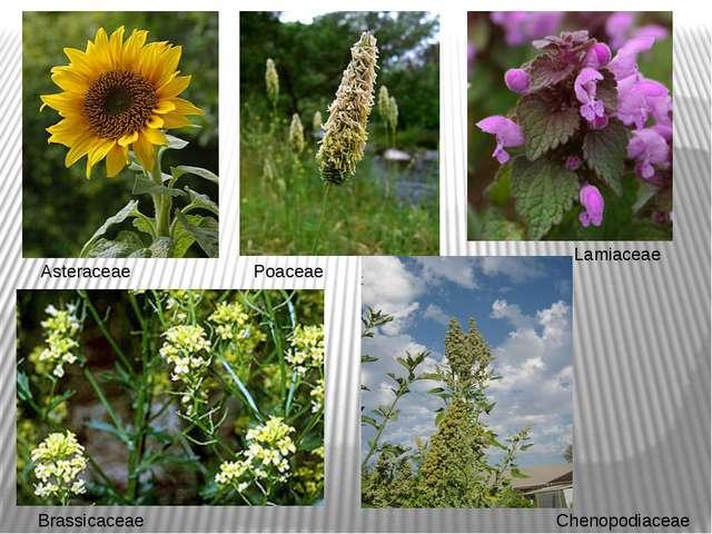 Asteraceae Poaceae Brassicaceae Lamiaceae Chenopodiaceae