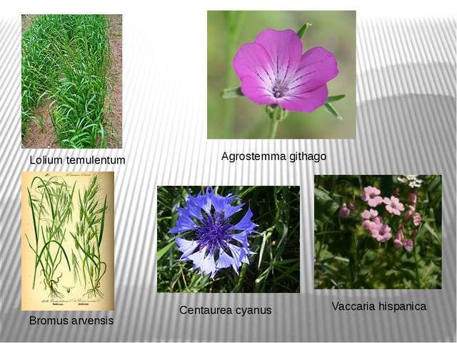 Lolium temulentum Agrostemma githago Vaccaria hispanica Centaurea cyanus Brom...