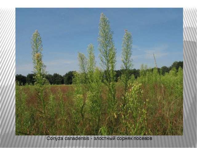 Conyza canadensis - злостный сорняк посевов