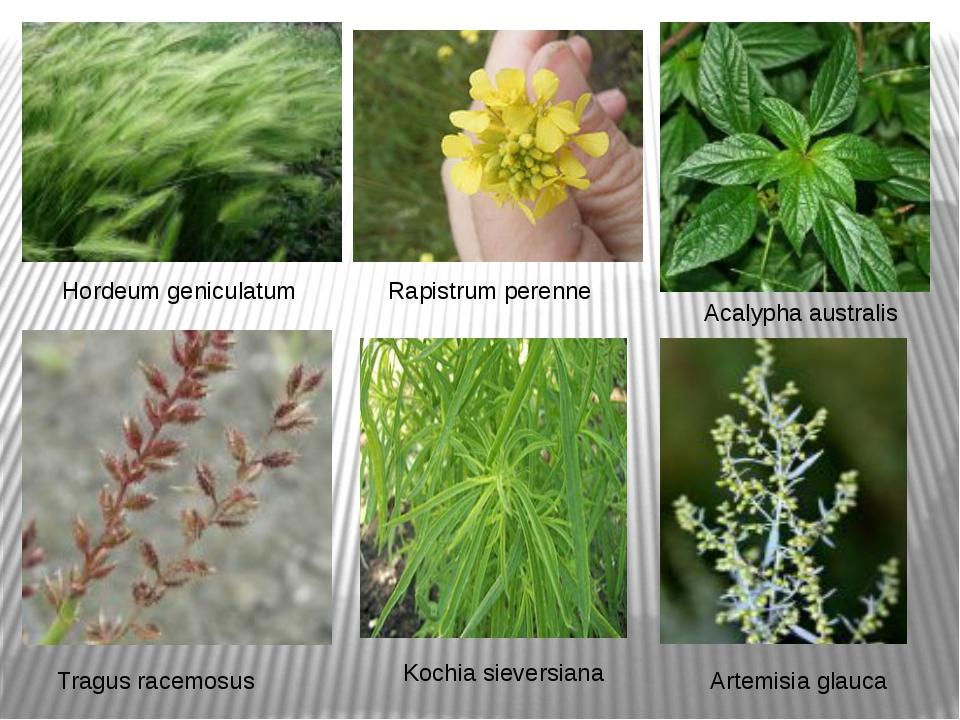 Hordeum geniculatum Tragus racemosus Acalypha australis Rapistrum perenne Koc...
