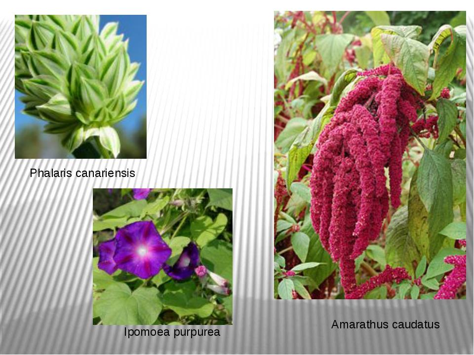 Phalaris canariensis Amarathus caudatus Ipomoea purpurea