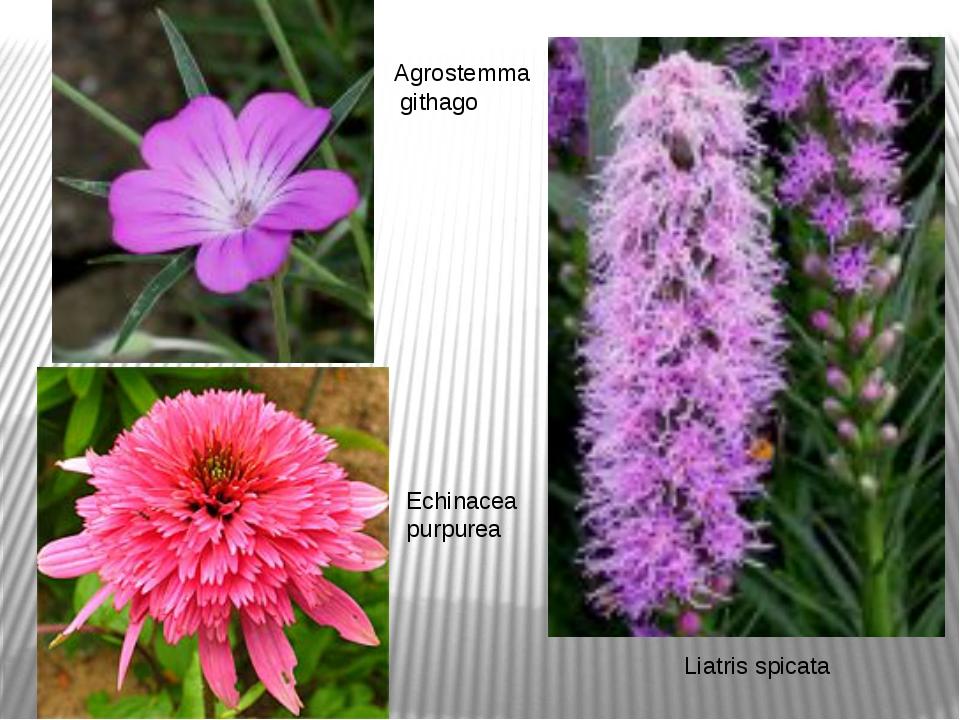 Agrostemma githago Liatris spicata Echinacea purpurea