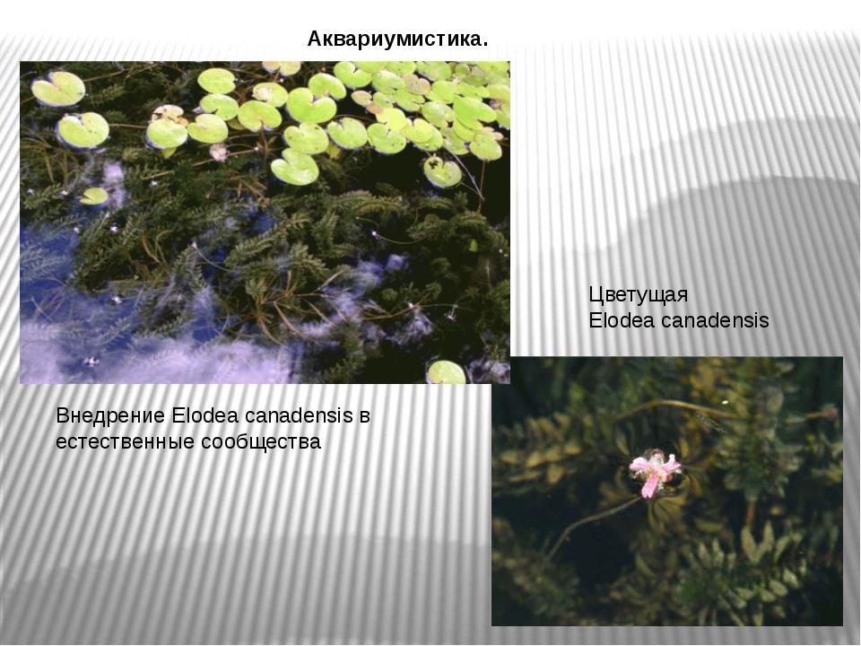 Внедрение Elodea canadensis в естественные сообщества Цветущая Elodea canaden...