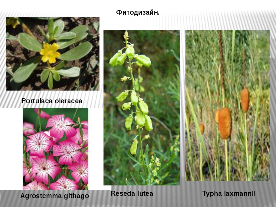 Фитодизайн. Portulaca oleracea Agrostemma githago Reseda lutea Typha laxmannii