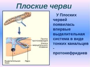 Плоские черви У Плоских червей появилась впервые выделительная система в виде