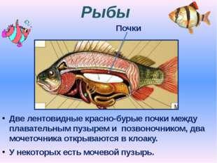 Рыбы Две лентовидные красно-бурые почки между плавательным пузырем и позвоноч