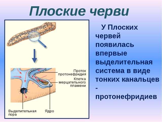 Плоские черви У Плоских червей появилась впервые выделительная система в виде...
