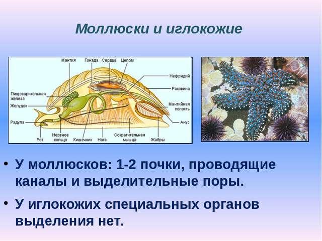 Моллюски и иглокожие У моллюсков: 1-2 почки, проводящие каналы и выделительны...