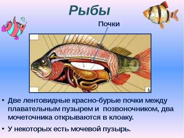 Рыбы Две лентовидные красно-бурые почки между плавательным пузырем и позвоноч...